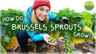 Download How Do Brussels Sprouts Grow? | Maddie Moate Video