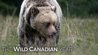 Download Female Bear Shows Young Male How Mating Season is Done in the Rockies Video