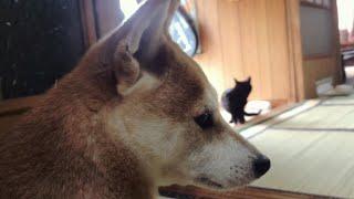 Download 猫が気になって二度寝できない柴犬 Energetic morning cat Video