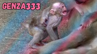 Download Baby monkey Cry:Baby Animal Video Video