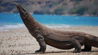 Download दुनिया की सबसे बड़ी छिपकली   Largest Lizard in the World   Komodo Dragon   Biggest Animals! Video