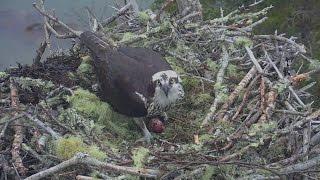 Download Audubon Hog Island Osprey Cam ~ Rachel Lays Her First Egg! 4.25.17 Video