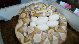 Download Magic Snake Eggs? Wait for It! Video