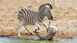 Download Zebra Tries to Kill Foal While Mother Fights Back Video