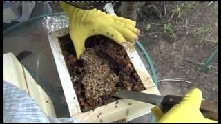 Download Australian Native Bee Hive splitting Video