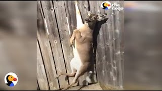 Download CRYING Deer Stuck in Fence Rescued by GREAT Guy | The Dodo Video