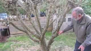 Download How to prune figs in a cool climate for first (breba) crop fig production Video