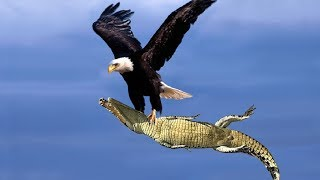 Download The Best Of Eagle Attacks 2018 - Most Amazing Moments Of Wild Animal Fights! Wild Discovery Animals Video