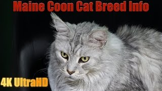 Download All About the Maine Coon Cat Breed Video