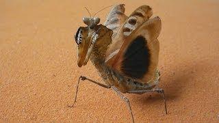 Download Majestic Giant Dead Leaf Mantis flying and warning (Deroplatys dessicata) [Inferion7] Video