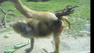 Download Awesome Monkey Compilation Video