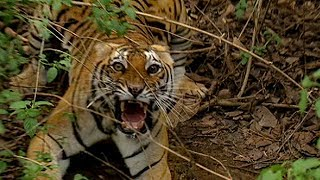 Download Getting Too Close to a Wild Tiger | Deadly 60 | Earth Unplugged Video