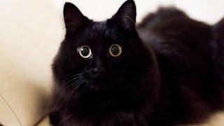 Download しゃべるねこ、しおちゃんの「おむかえ」集 - Talking cat Theo greeting his ″Papa″ Video