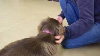 Download 犬の幼稚園 彩羽ちゃんとトレーニング Video