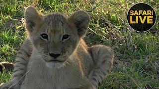 Download safariLIVE - Sunset Safari - October 23, 2018 Video