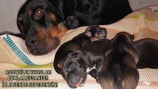 Download Rottweiler Marla Doğum Yaptı - 8 Tane Yavru Doğdu Bunlar Birer EFSANE!!!!! İzle Anlayacaksın Video