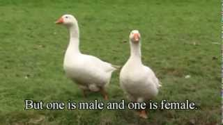 Download How To Tell The Difference Between A Goose And A Gander Video