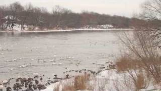 Download Trumpeter Swans of Monticello Minnesota Video
