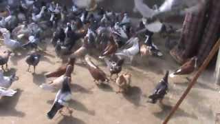 Download kabutarbazi in India Güvercin kaftar Pigeons Flying kit 5 Video