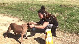 Download Rescuer removes heavy chain from pit bull in Puerto Rico Video