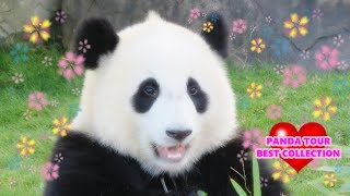 Download PANDA TOUR BEST COLLECTION 素敵なパンダ旅をありがとう THANK YOU SO MUCH!! Video