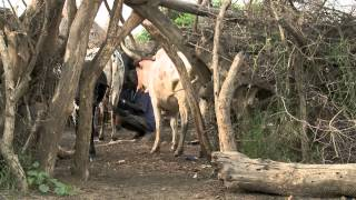 Download Our Livestock Are Our Mother - Doing Community One Health in Kaabong, Uganda Video