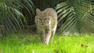 Download An Update On Our Rehab Bobcat Mrs.Claws Video