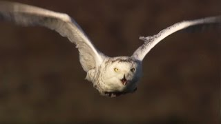 Download Master of the Sky: Owl Vs Wolf - Super Powered Owls - BBC Video
