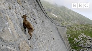 Download The incredible ibex defies gravity and climbs a dam | Forces of Nature with Brian Cox - BBC Video