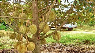 Download WOW! Amazing Agriculture Technology - Durian Video
