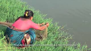 Download Shrimp cultivator in Bangladesh Video