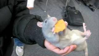 Download Mittens, the Rat, Eats a Cracker Video
