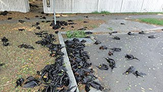 Download Hundreds Of ″Boiled″ Bats Fall From The Sky In Australia Video