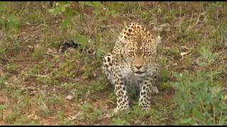Download Safari Live Videos-Karula Freaks At Jamie Paterson (date unknown) Video