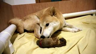 Download Birth of puppy 1 of 2 - Shiba Inu / Doge (graphic content) Video