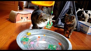 Download ねこと水遊び。-Water play with Maru&Hana.- Video