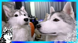 Download HUSKY REACTS TO HUSKY SLIPPERS | Cuddle Clones Video