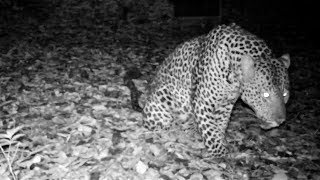 Download Leopard's sawing call, a guttural sound to invite females in heat and warn rival males to keep out Video