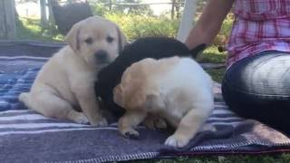Download 5-week-old Labrador puppies Video