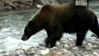 Download Untamed and Uncut - Grizzly Bear Battle Video