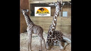 Download Animal Adventure Park Giraffe Cam Video