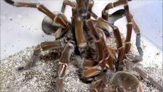 Download Burgundy Goliath Birdeater breed Video