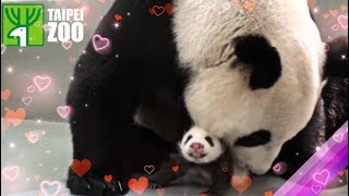 Download 圓仔回到媽媽懷抱 Giant Panda Cub Yuan Zai Reunited with Mother Panda, Yuan Yuan (English Subtitle Available) Video
