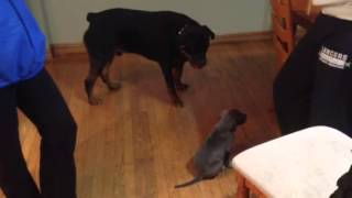 Download Rottweiler meeting baby Pitbull Video
