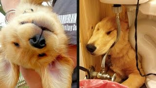 Download 16 Golden Retriever Puppies Who Were Huge Dweebs Video