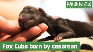 Download First fox cubs dramatically arrive by cesarean! Video