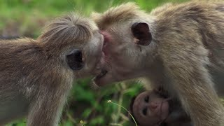 Download Macaque Hierarchy: Dealing with Bullies | BBC Earth Video