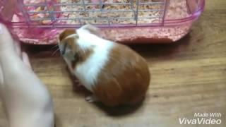 Download 햄스터가 우리집에 갑자기 나타나서 놀란 기니피그ㅋㅋ🙀🙀😸😸 Video