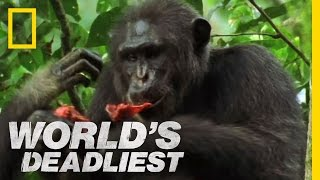 Download Killers Like Us: Chimpanzees | World's Deadliest Video