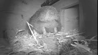Download Hedgehog Street: using some provided straw for nesting Video